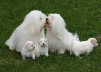 The Coton de Tulear - Uses its own special language to