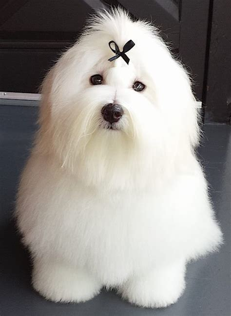 Coton de Tulear is a very affectionate dog! They look like