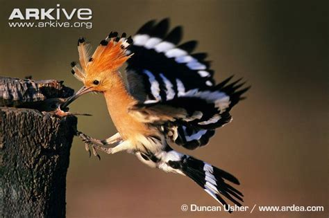 A Dinosaur A Day · Here are some photos of the Hoopoe